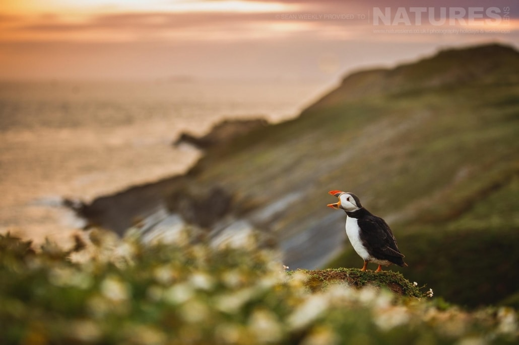 An atlantic puffin calls in the golden light - typical of the kind of image that can be captured on the NaturesLens Skomer Puffin Photography Holiday