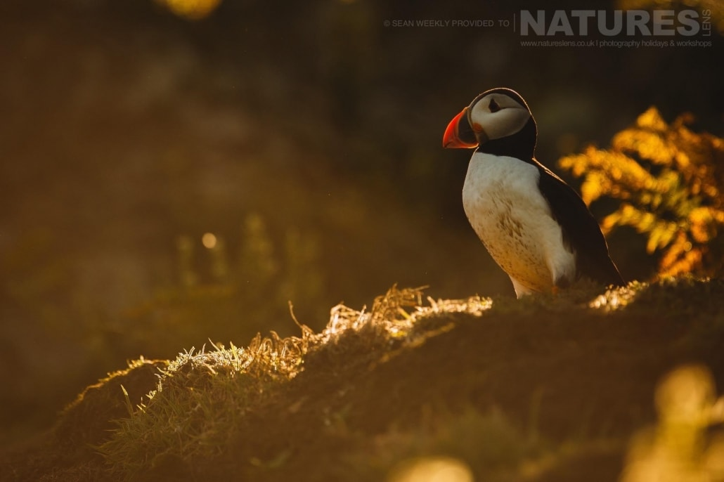 An atlantic puffin captured in the last light of the day - staying on Skomer Island affords the possibility of capturing images of Puffins in golden light