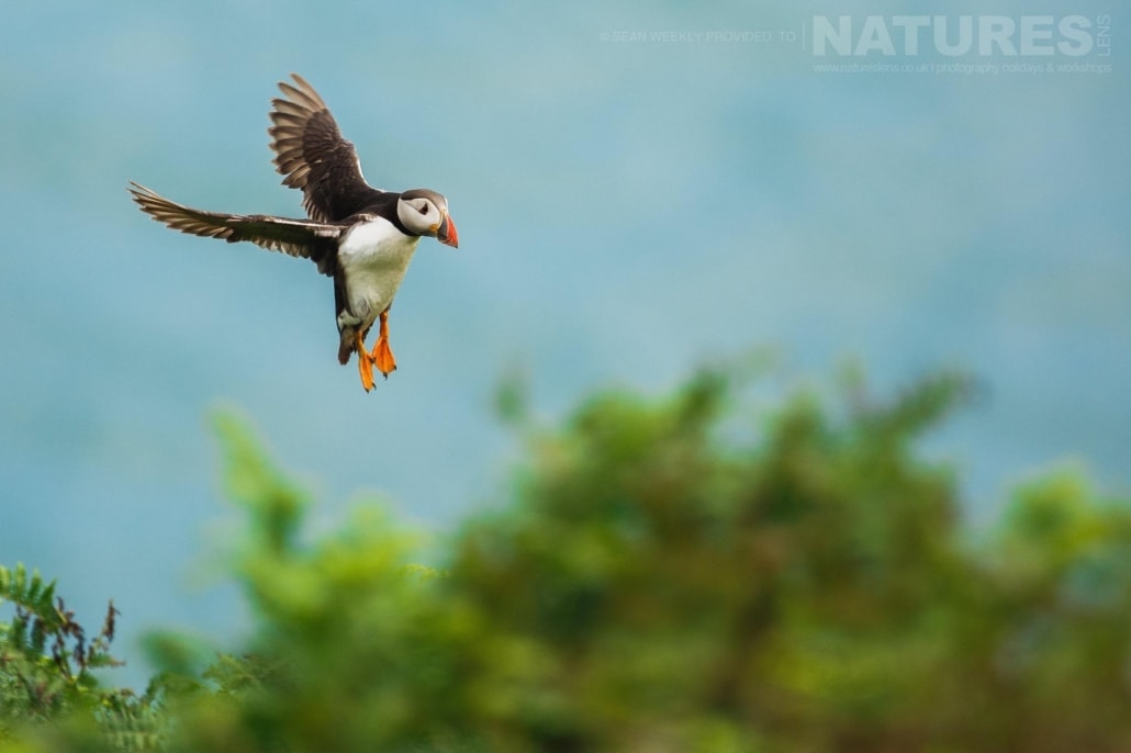 An atlantic puffin comes in to land on Skomer Island- typical of the kind of image that can be captured on the NaturesLens Skomer Puffin Photography Holiday