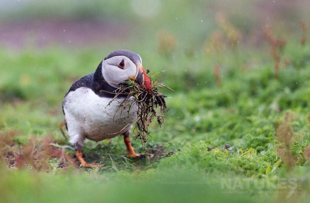 An atlantic puffin gathers nesting material in the rain - photographed during the NaturesLens Skomer's Puffins Photography Holiday