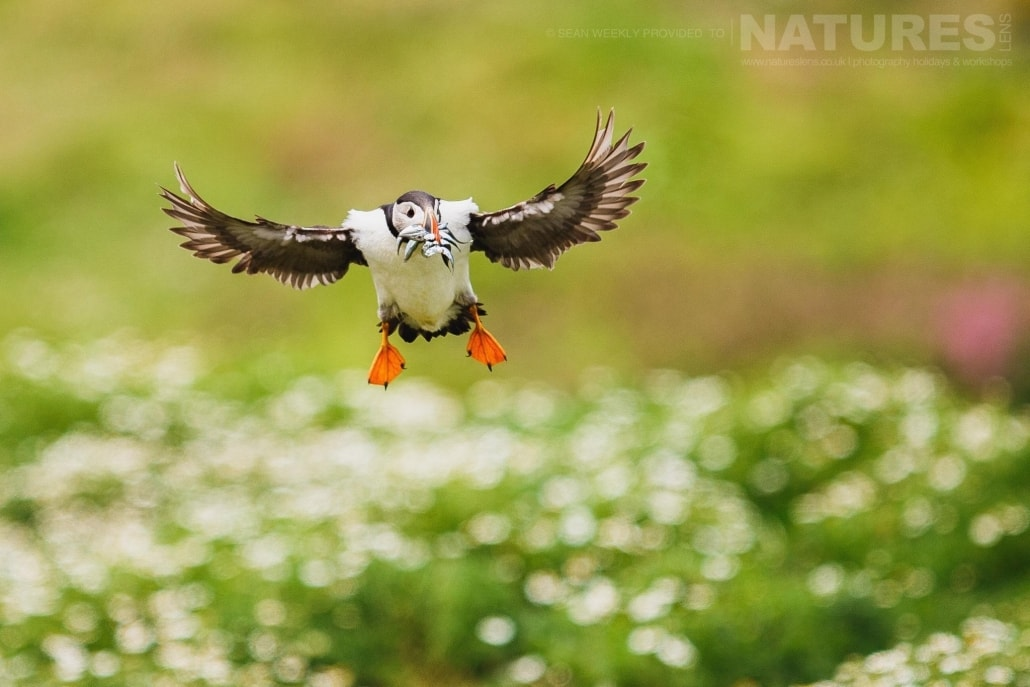 An atlantic puffin lands amongst the sea campion with a bill full of sand-eels- typical of the kind of image that can be captured on the NaturesLens Skomer Puffin Photography Holiday
