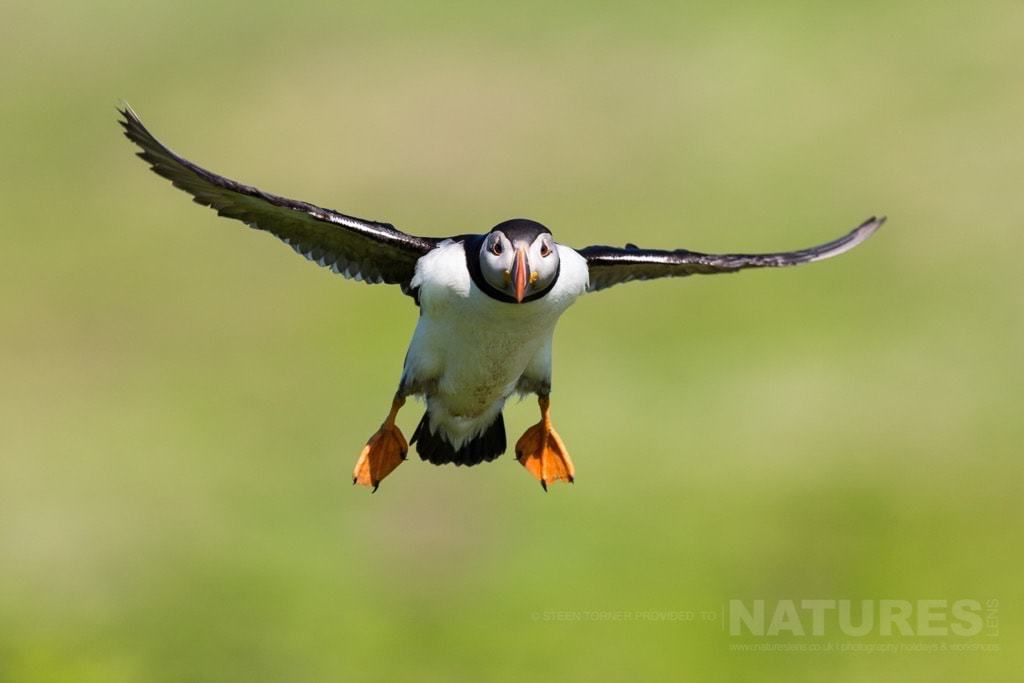 An in-flight puffin superbly captured - the capture that everyone hopes to achieve - photographed during the NaturesLens Skomer's Puffins Photography Holiday