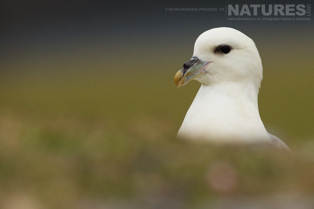 An inquisitive fulmar in the reserve near Sumburgh Head on Shetland- photographed on the NaturesLens Puffins of Fair Isle Photographic Holiday