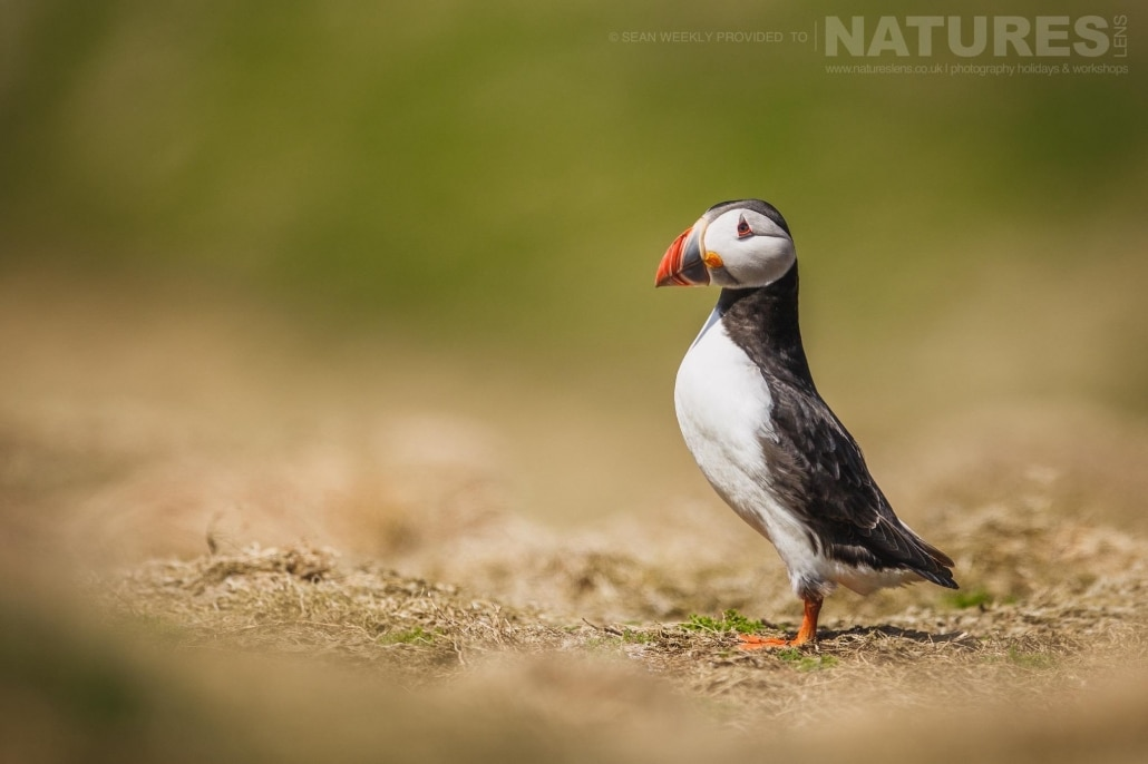 An lone atlantic puffin stands at The Wick - typical of the kind of image that can be captured on the NaturesLens Puffins of Skomer Island Photography Holiday