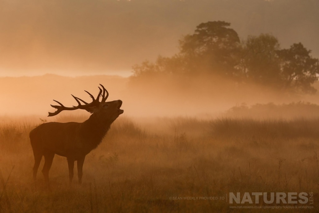 As the sun rises, a deer is silhouetted bellowing into the morning mist - image is typical of that which may be captured on the NaturesLens Red Deer in Rut Photography Workshop