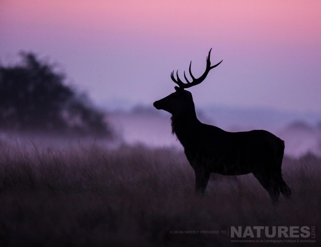 As the sun rises, a lone stag is silhouetted against the morning mist - image is typical of that which may be captured on the NaturesLens Red Deer in Rut Photography Workshop