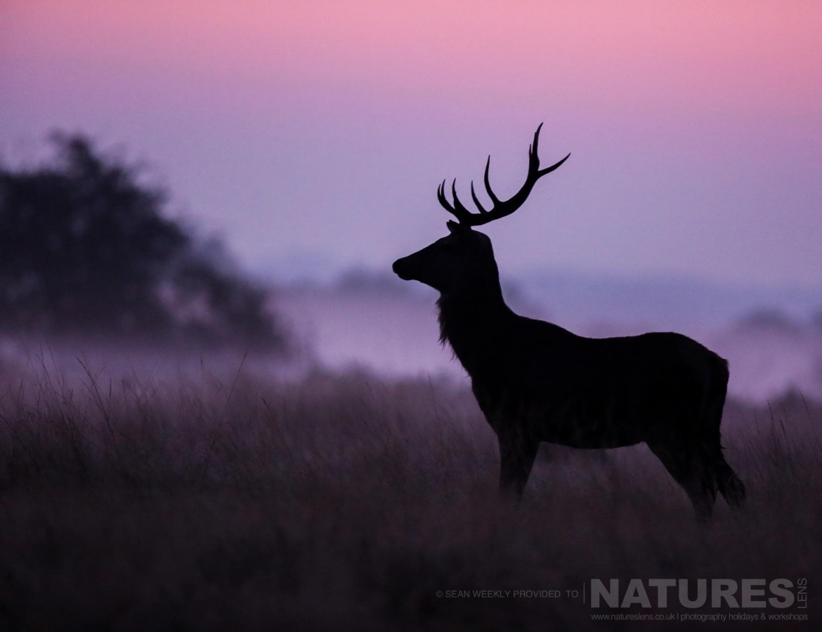 As the sun rises a lone stag is silhouetted against the morning mist image is typical of that which may be captured on the NaturesLens Red Deer in Rut Photography Workshop
