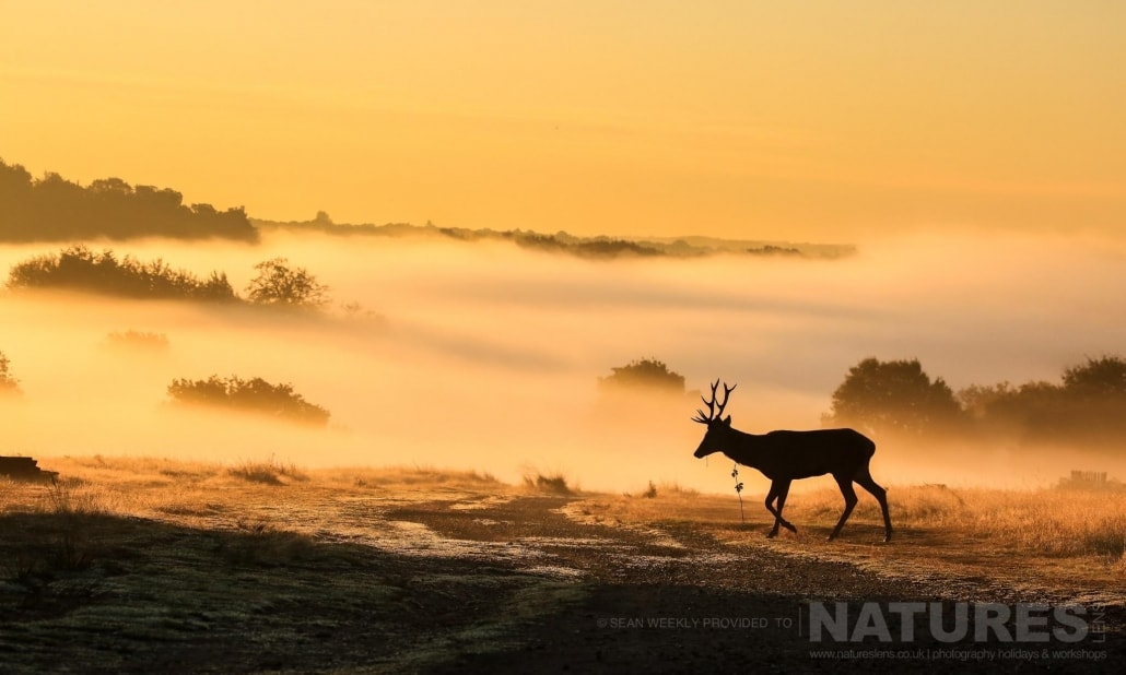 As the sun rises, a walks through the morning mist - image is typical of that which may be captured on the NaturesLens Red Deer in Rut Photography Workshop