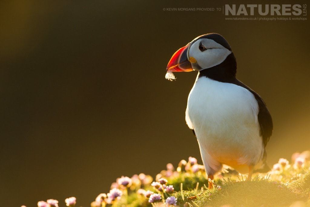 As the sun sets on Fair Isle, a puffin continues to gather nesting material- photographed on the NaturesLens Puffins of Fair Isle Photographic Holiday
