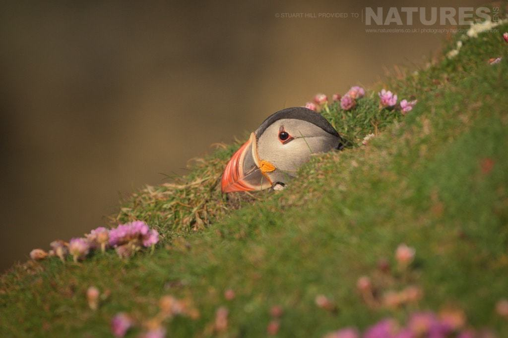 Bathed in golden light at the end of the day, one of Fair Isle's Atlantic Puffins emerges from it's burrow - photographed on the NaturesLens Puffins of Fair Isle Photography Holiday