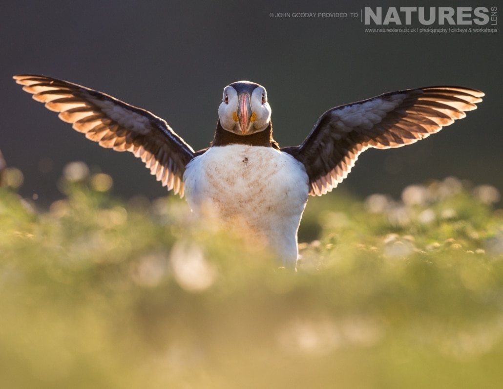 Beautifull backlit - one of Skomer's Atlantic Puffins spreads it's wings - photographed on the NaturesLens Puffins of Skomer Island Photography Holiday