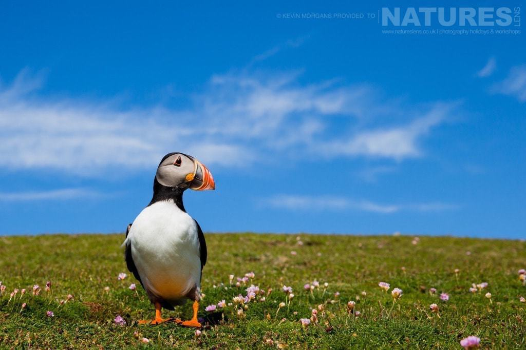 Captured in wide-angle, one of the Puffins of Fair Isle framed against a glorious sky - photographed on the NaturesLens Puffins of Fair Isle Photographic Holiday
