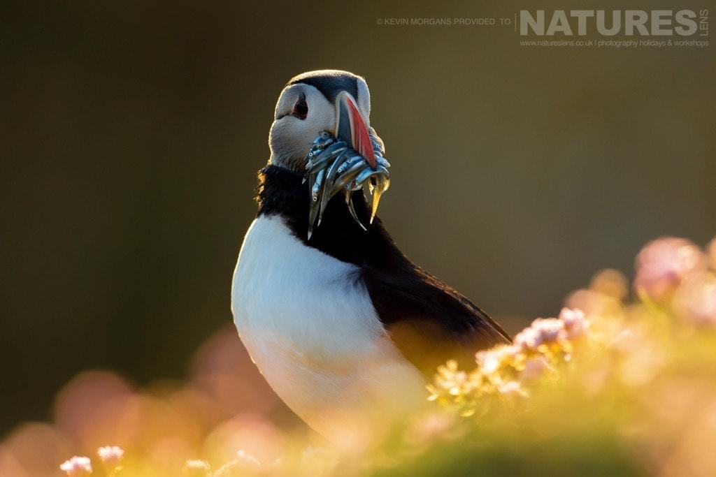 Clutching a mouthful of sandeels, one of Fair Isle's puffins is caught in the last light of a setting sun - photographed on the NaturesLens Puffins of Fair Isle Photographic Holiday