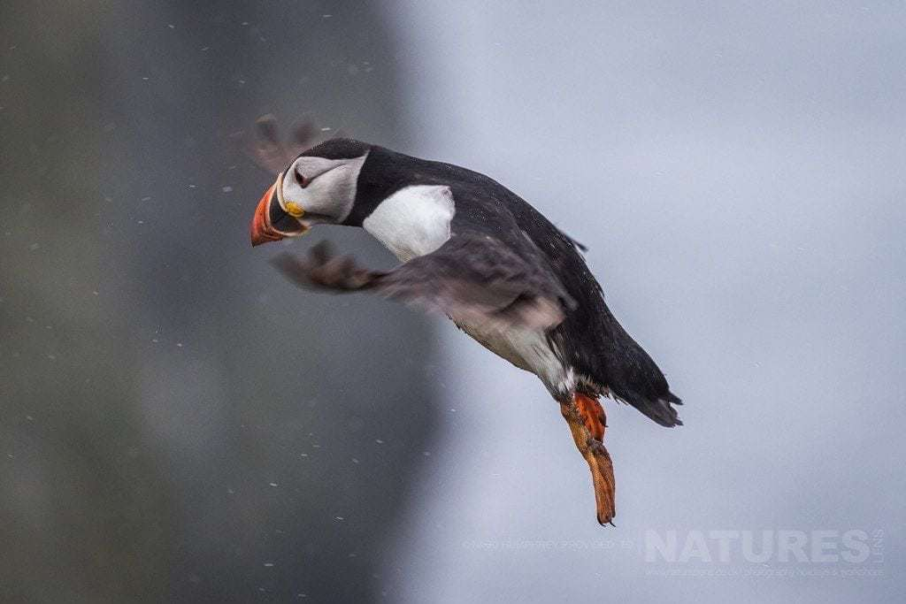 Flying against the rain - a valiant puffin of Skomer Island battles the weather - photographed during the NaturesLens Skomer Puffins Photography Holiday