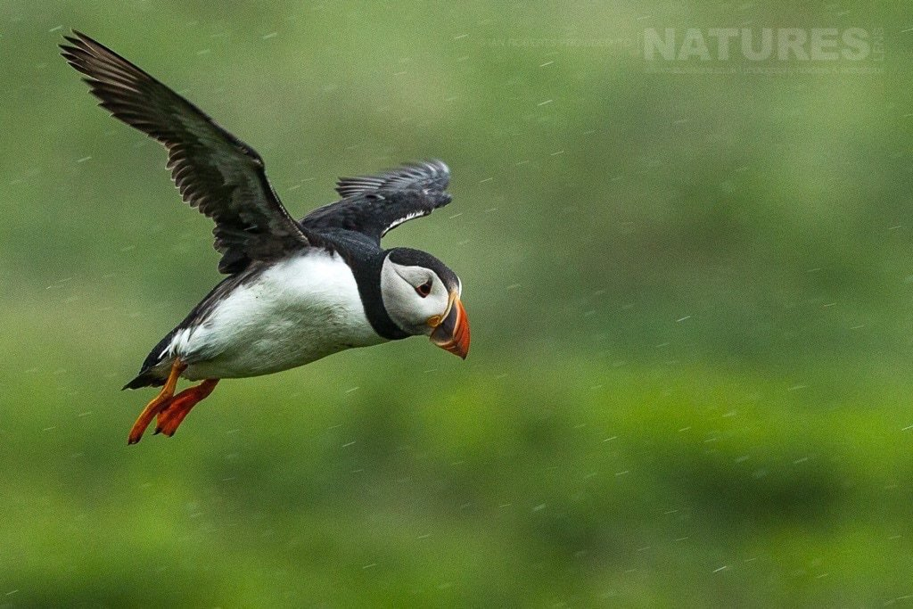 Flying against the rain, one of the Skomer puffins braves the weather - photographed during the NaturesLens Skomer's Puffins Photography Holiday