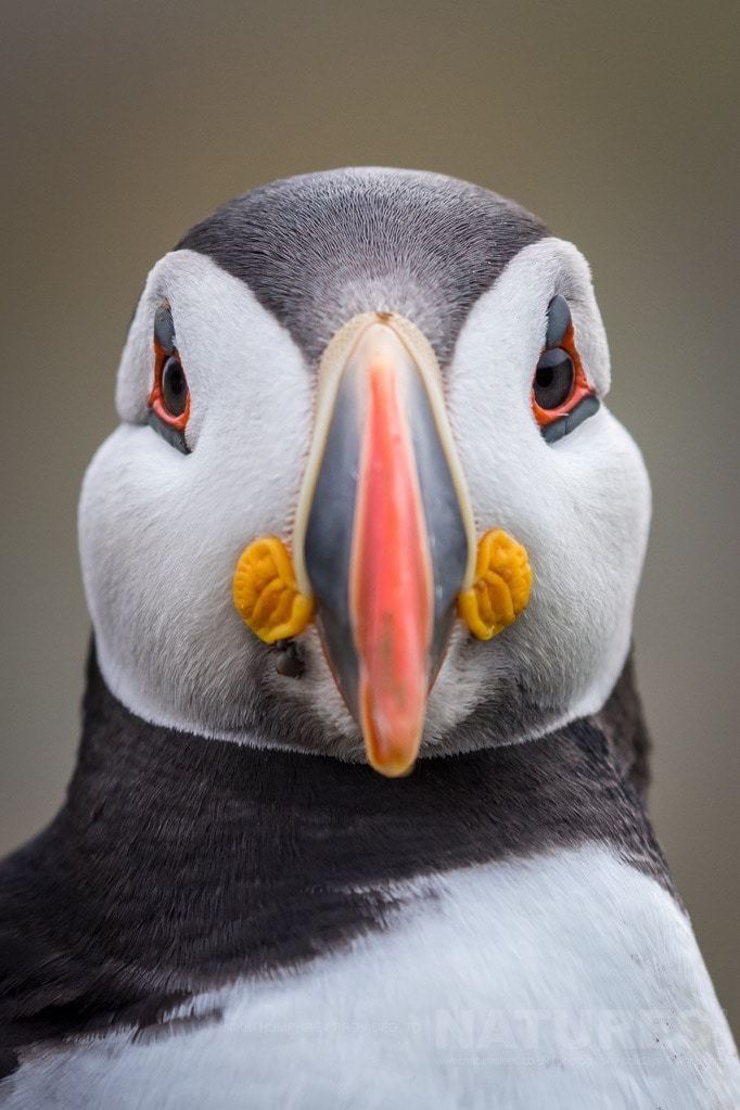 Focussed on you - a fabulous head-on portrait of an Atlantic Puffin - photographed during the NaturesLens Skomer Puffins Photography Holiday