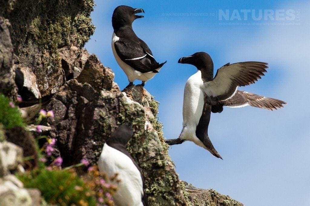 Incoming - a gullemot attempts a landing on one of the Skomer cliff faces - photographed during the NaturesLens Skomer's Puffins Photography Holiday