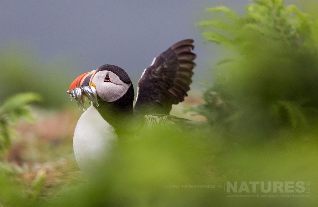 Just landed, one of Skomer's Puffins with a mouthful of sand-eels - photographed during the NaturesLens Skomer's Puffins Photography Holiday