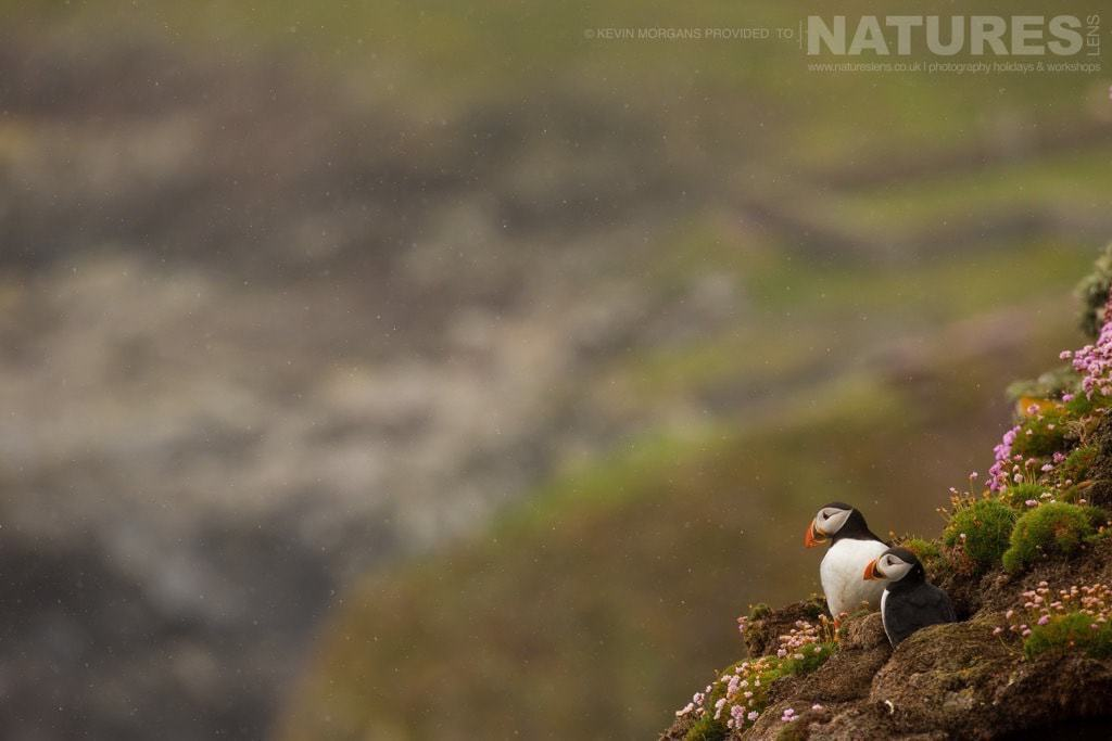 Looking out to sea, a pair of Fair Isle's puffins look small against the rugged coastline covered in thrift - photographed on the NaturesLens Puffins of Fair Isle Photographic Holiday