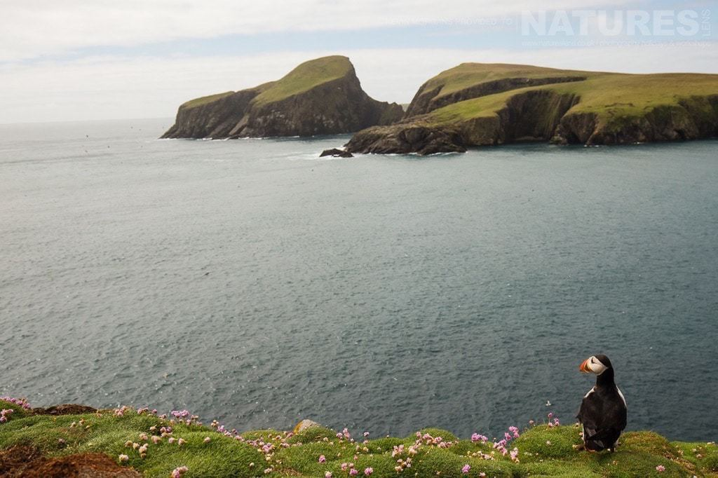 Looking out to sea, one of Fair Isle's puffins seems truly tiny against the rugged coastline- photographed on the NaturesLens Puffins of Fair Isle Photographic Holiday
