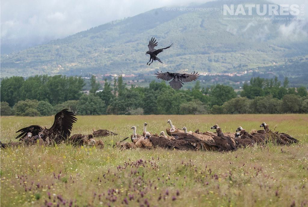 Mob-handed, the vultures move in to the carrion hide site, chasing away the crows & kites - photographed on the NaturesLens Birds of the Spanish Plains Photography Holiday