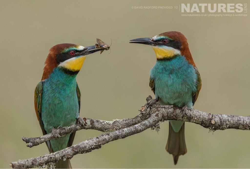 One bee-eater passes a caught insect to another amongst the grass & wild flowers of the Spanish plains - photographed on the NaturesLens Birds of the Spanish Plains Photography Holiday
