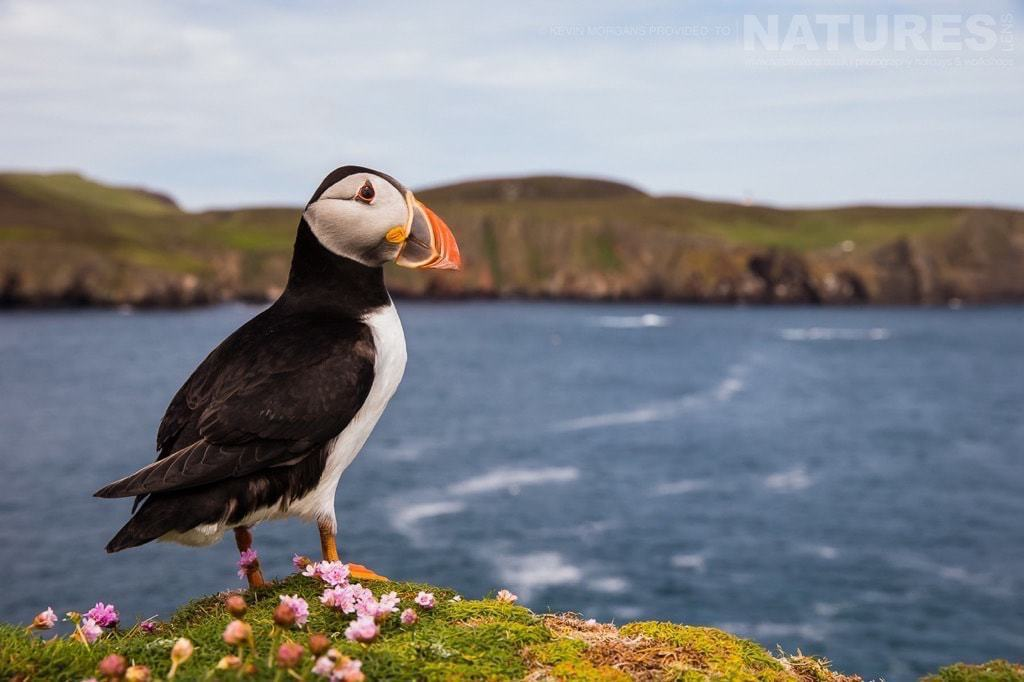 One of Fair Isle's Atlantic Puffins poses amongst the thrift - photographed on the NaturesLens Puffins of Fair Isle Photographic Holiday