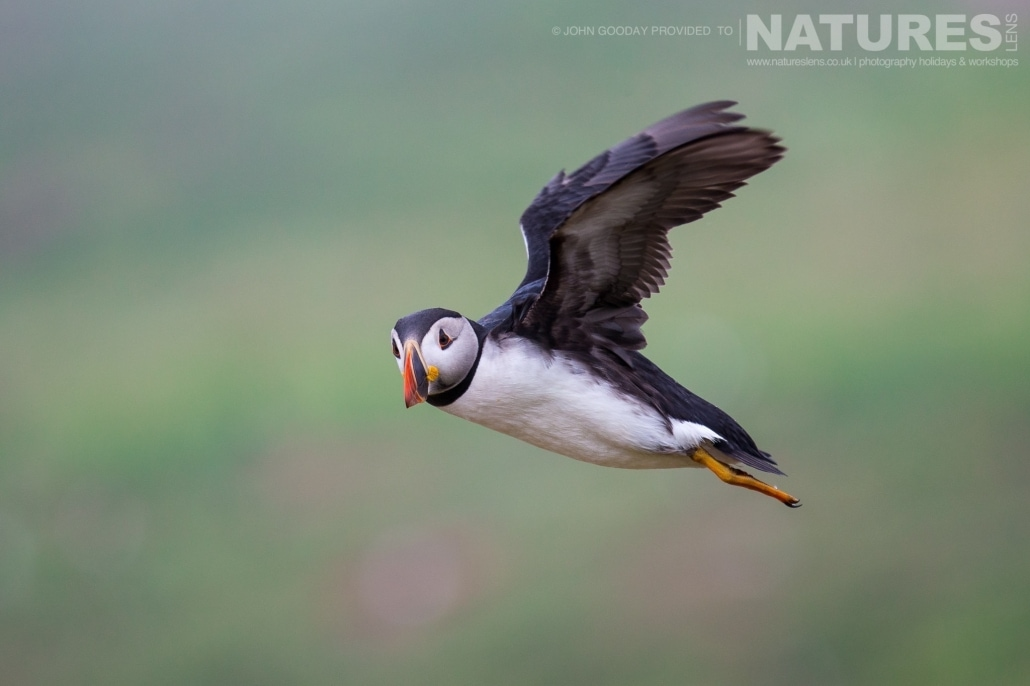 One of Skomer's Atlantic Puffins comes in to land adjacent to The Wick - photographed on the NaturesLens Puffins of Skomer Island Photography Holiday