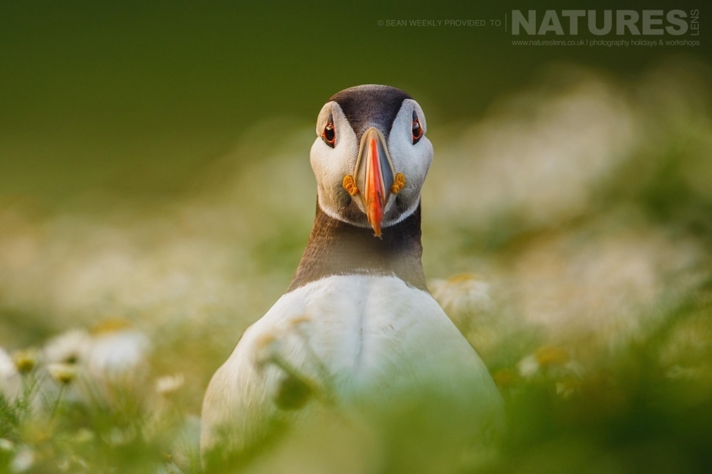 One of Skomer's atlantic puffins stands proudly amongst the sea campion - typical of the kind of image that can be captured on the NaturesLens Puffins of Skomer Island Photography Holiday