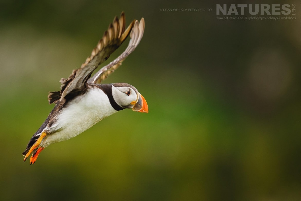 One of Skomers famous puffins comes in to land on The Wick typical of the kind of image that can be captured on the NaturesLens Puffins of Skomer Island Photography Holiday