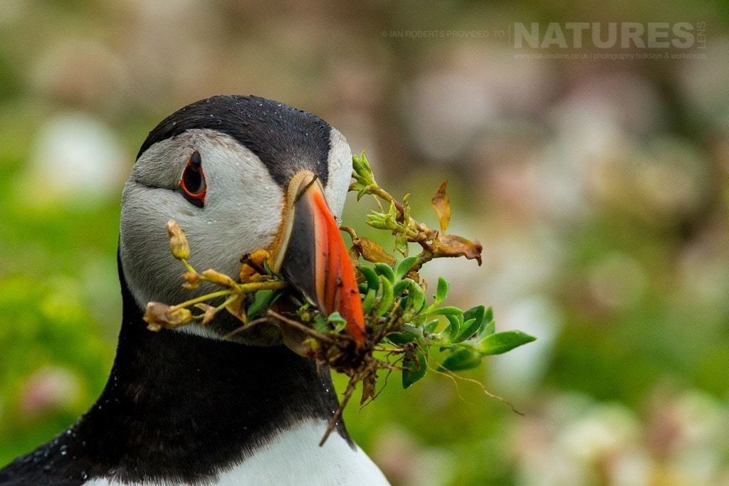 One of Skomer's puffins returns to further line it's nest - photographed during the NaturesLens Skomer's Puffins Photography Holiday