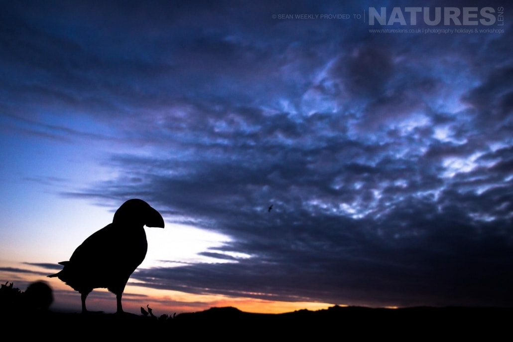 One of the Atlantic Puffins of Skomer silhouetted against the evening sky - an example of the type of creative Puffin images that may be captured at the end of the day on Skomer Island