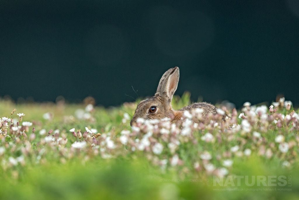 One of the rabbits that also have a large population on Skomer - photographed during the NaturesLens Skomer's Puffins Photography Holiday