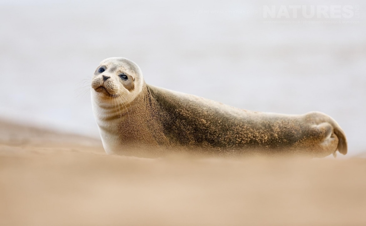 One of the young atlantic grey seals found on a secluded beach typical of the type of image that participants of the NaturesLens Atlantic Grey Seals Photography Holiday will be able to capture