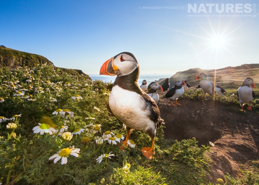 One the Skomer's Atlantic Puffins superbly photographed with a wider than normal angle - captured on the NaturesLens Puffins of Skomer Island Photography Holiday