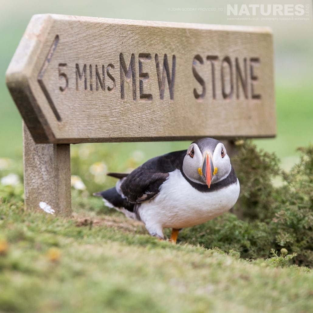 Perched under one on the signs that scatter the island of Skomer, one the Atlantic Puffins stares at the camera - photographed on the NaturesLens Puffins of Skomer Island Photography Holiday