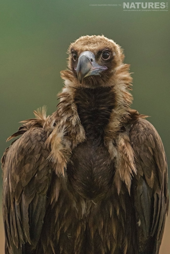 Portrait of a vulture - photographed on the NaturesLens Birds of the Spanish Plains Photography Holiday
