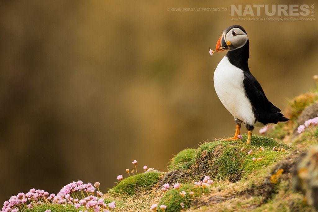 Posing with a gathered flower one of Fair ISles Puffins looks in a contemplative mood photographed on the NaturesLens Puffins of Fair Isle Photographic Holiday