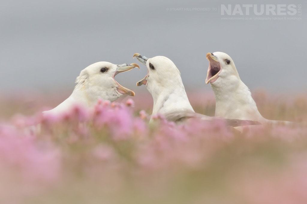 Seabirds & puffins in thrift is the main reason for the timing of the photography tour - photographed on the NaturesLens Puffins of Fair Isle Photography Holiday
