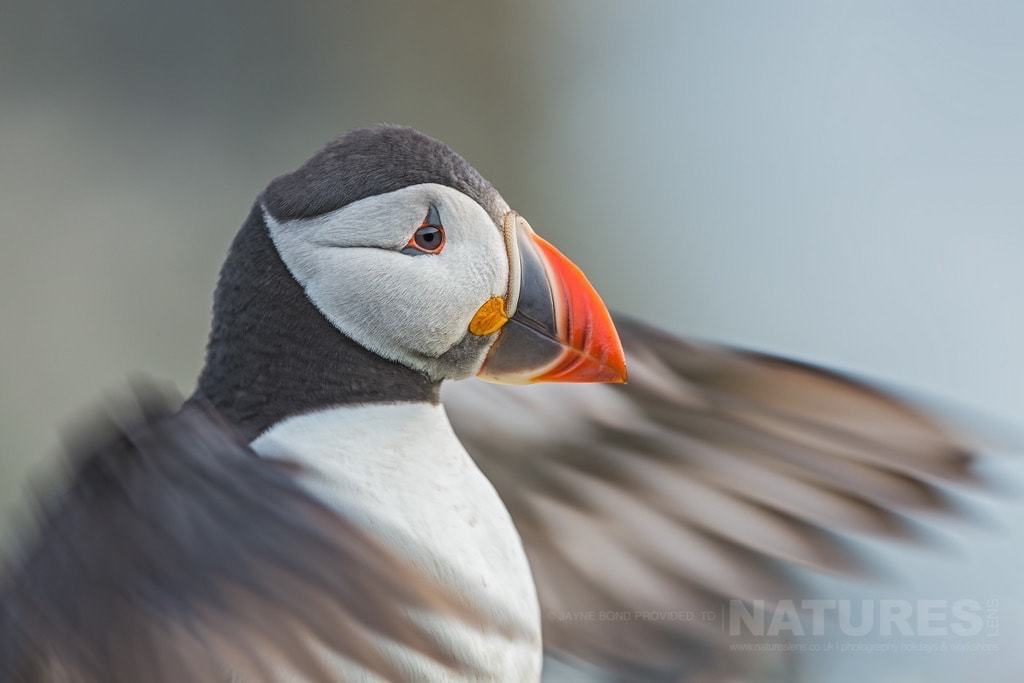 Slowed shutter equals artistic blur in the wings of this Atlantic puffin - photographed during the NaturesLens Skomer's Puffins Photography Holiday