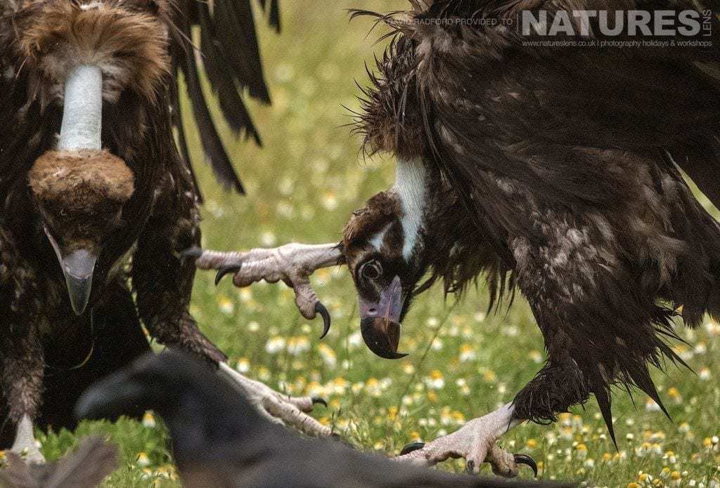 Sparring vultures keep their food solely to themselves - photographed on the NaturesLens Birds of the Spanish Plains Photography Holiday