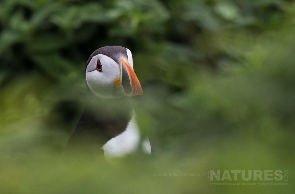 Spied through the foliage, one of Skomer's Atlantic Puffins - photographed during the NaturesLens Skomer's Puffins Photography Holiday