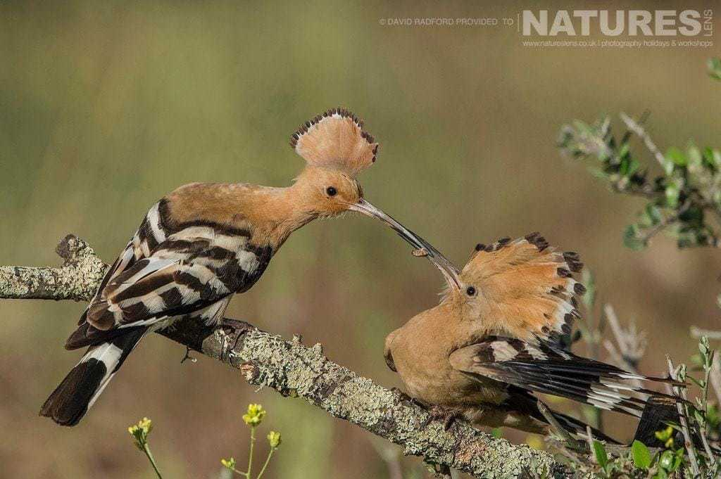 The female adult hoopoe feeding one of the young from this years clutch - photographed on the NaturesLens Birds of the Spanish Plains Photography Holiday