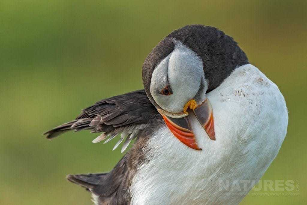 Time for a preen, one of the puffins of Skomer cleans a rather dirty chest - photographed during the NaturesLens Skomer's Puffins Photography Holiday