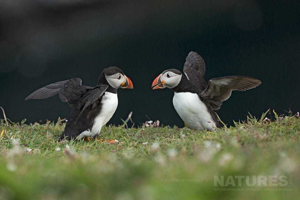 Two puffins greet one and other against the black backdrop of the cliff face at The Wick - photographed during the NaturesLens Skomer's Puffins Photography Holiday