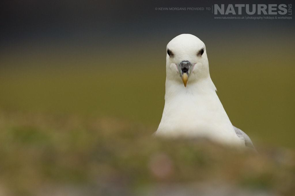 Who's watching who? An inquisitive fulmar observes the photographer near Sumburgh Head on Shetland- photographed on the NaturesLens Puffins of Fair Isle Photographic Holiday