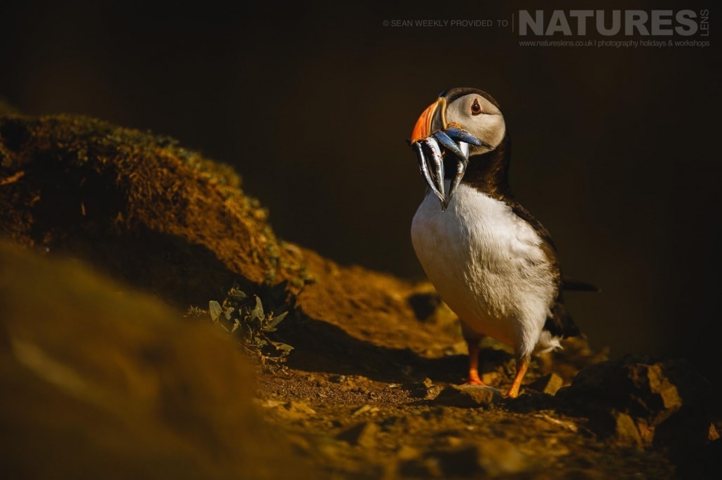 With a bill full of sand-eels, one of Skomer's puffins is bathed golden in the last light of the day - staying on Skomer Island affords the possibility of capturing images of Puffins in golden light
