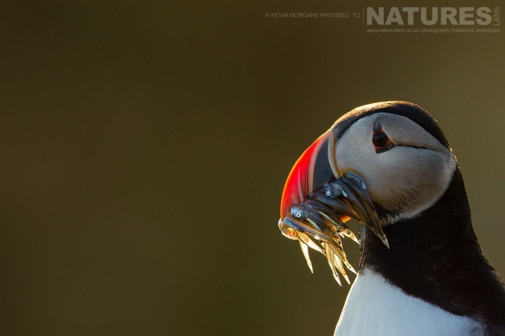 With a mouthful of sandeels, one of Fair Isle's puffins is caught in the last light of a setting sun - photographed on the NaturesLens Puffins of Fair Isle Photographic Holiday