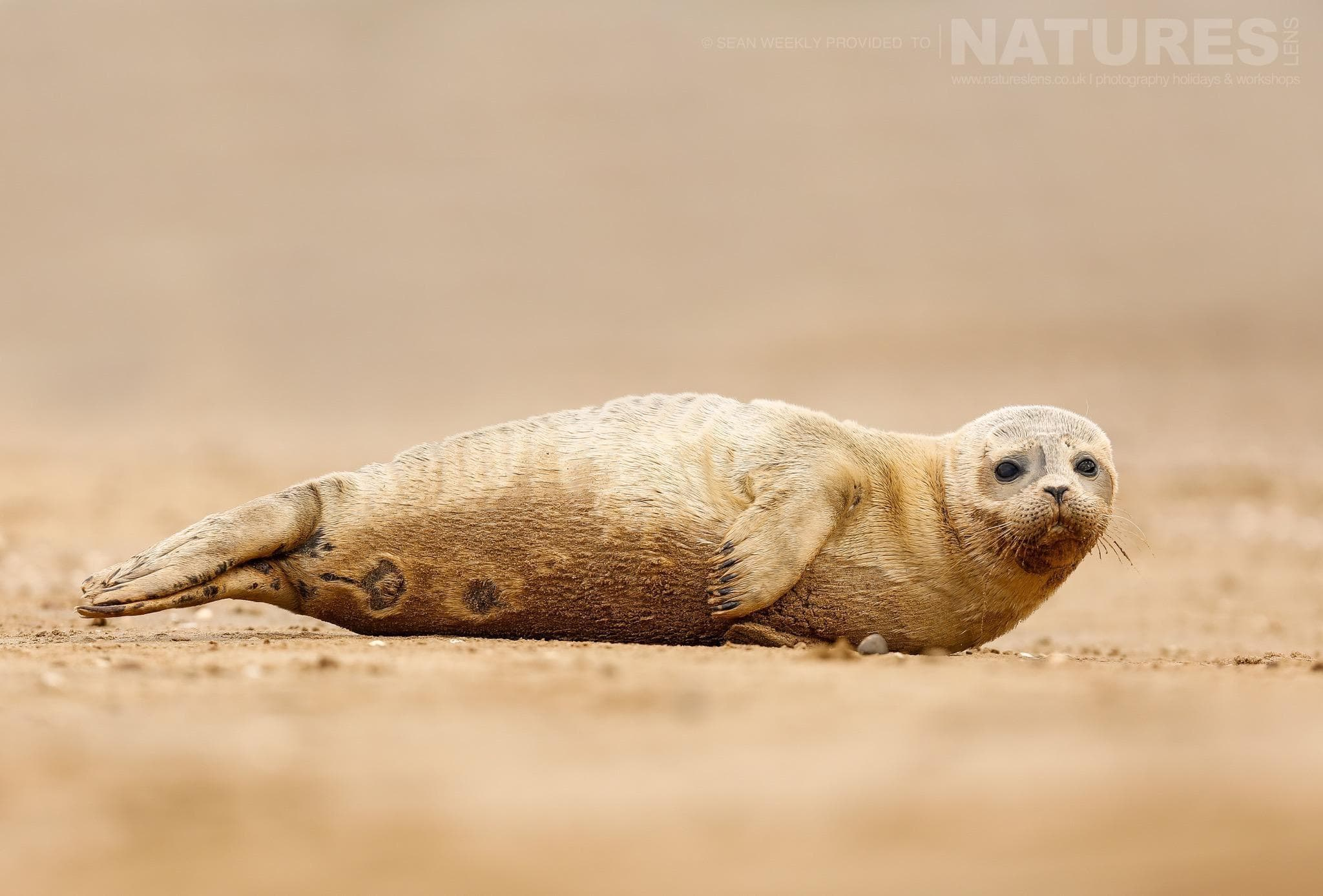 An atlantic grey seal pup laying on a secluded beach on the Lincolnshire coastline - typical of the type of image that participants of the NaturesLens Atlantic Grey Seals Photography Holiday will be able to capture