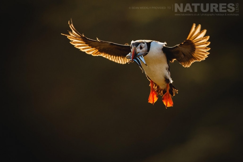 An atlantic puffin comes in to land with a bill full of sand-eels back lit in the last light of the evening - staying on Skomer Island affords the possibility of capturing images of Puffins in golden light